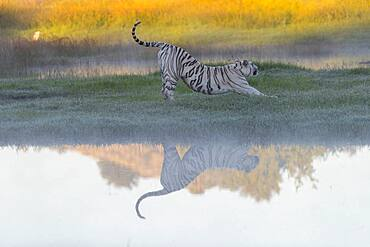 Asian (Bengal) Tiger (Panthera tigris tigris), White tiger, adult female near by a swamp, Private reserve, South Africa (Captive)