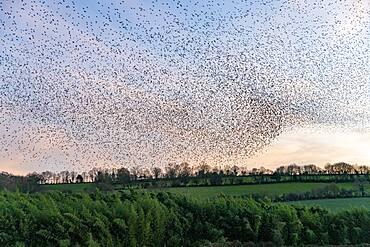Flight of starlings (Sturnus vulgaris), join a roosting place, grove, Rouesse Vasse, Sarthe, Pays de la Loire, France