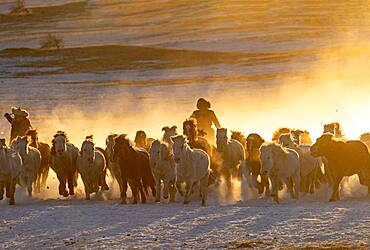 Mongolian horsemen lead a troop of horses running in a meadow covered by snow, Bashang Grassland, Zhangjiakou, Hebei Province, Inner Mongolia, China