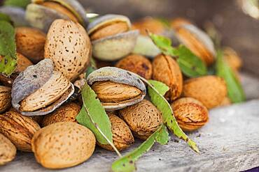 """Freshly harvested almonds. Variety """"de la gare"""", old variety of the South-West of France, very large caliber."""