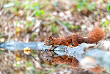 Red squirrel (Sciurus vulgaris) and its reflection in a pond in summer, Moselle