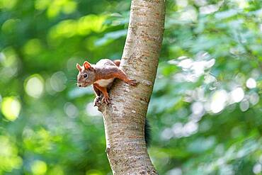 Red squirrel (Sciurus vulgaris) on the trunk of a cherry tree in summer, Moselle