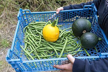 Girl harvesting vegetables in a kitchen garden in summer
