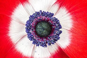Poppy anemone (Anemone coronaria) flower, spring, Pas-de-Calais