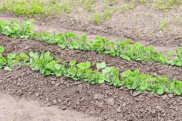 Garden Peas (Pisum sativum) 'Sans pareil' in a garden, spring, Moselle