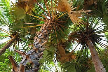 Palm trees in a private garden, Cambodia.