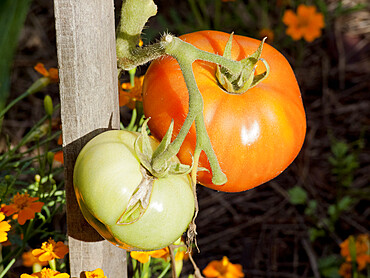 Tomate 'Candy Stripes'