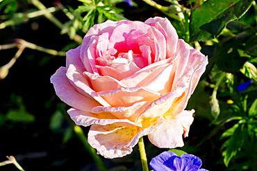 Rose tree 'Elle' in bloom in a garden *** Local Caption *** Reg. : Meilland 1999