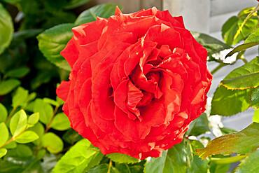 Rose tree 'Docteur Watson' in bloom in a garden *** Local Caption *** Reg. : Harkness 2008