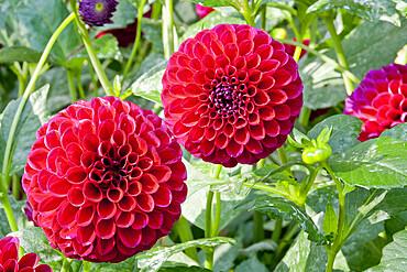 Dahlia 'Anka' in bloom in a garden *** Local Caption *** Reg. : Legutko (POL)