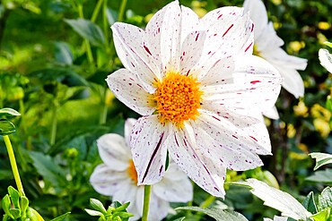Dahlia 'Blitztgutys' in bloom in a garden *** Local Caption *** Reg. : Beaumont (FRA) 2007