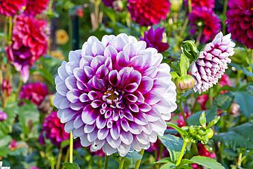 Dahlia 'Edimbourg' in bloom in a garden *** Local Caption *** Reg. : Dobbie (GBR) 1950