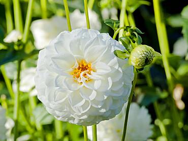 Dahlia 'White Aster' in bloom in a garden *** Local Caption *** Reg. : Doobie (GBR) 1879