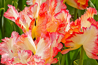 Parrot tulip 'Parrot King' in bloom in a garden
