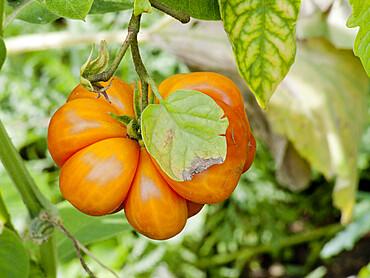 Tomate du Voyageur (Solanum lycopersicum)