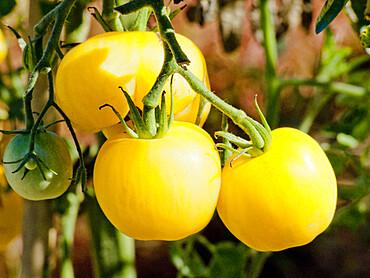 Tomate 'Lemon Ghost'