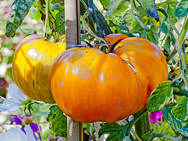 Tomate 'Orange Strawberry'