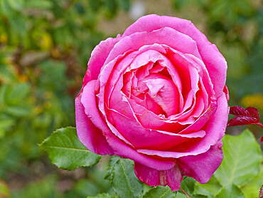 Rosa 'Auguste Renoir' in bloom in a garden *** Local Caption *** Reg. : Meilland 1993