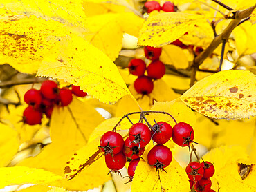 Crataegus sorbifolia