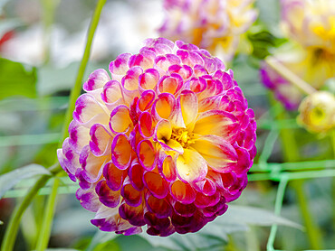 Dahlia 'Hapet Vino' in bloom in a garden *** Local Caption *** Halshofer (AUT) 2007