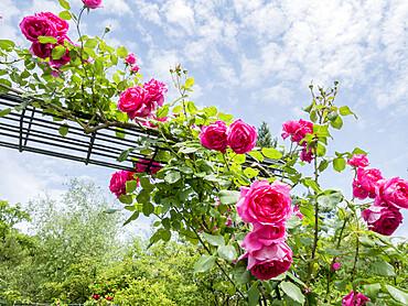 Rose tree 'Pink Cloud' in bloom in a garden *** Local Caption *** Breeder : Boerner (USA) 1952
