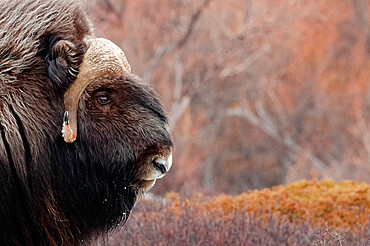 Musk ox (Ovibos moschatus) in the tundra, Dovrefjell, Norway