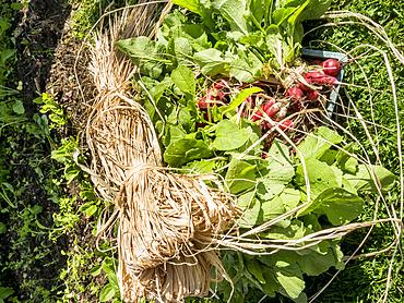 Recolte de radis, Raffia pour attacher les bottes