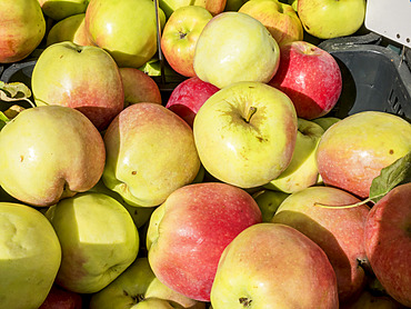 Pomme 'Calville rouge du Mont d'Or'