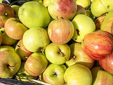 Pomme 'Beauvais 4 Cotes'