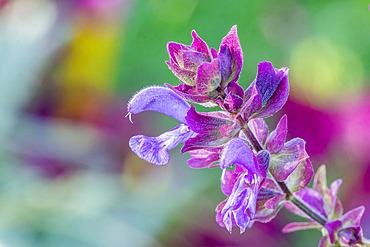 Salvia canariensis var. candidissima