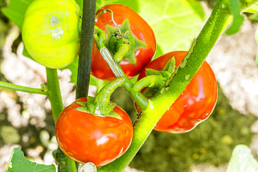 Tomate des Cannibales