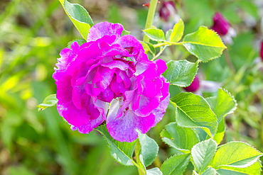 Rosa 'Blue Eden' Breeder : Carruth (USA) 2004