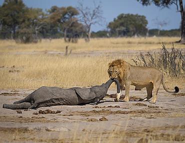 Lion (Panthera leo), male with elephant kill, Hwange National Park, Zimbabwe, January