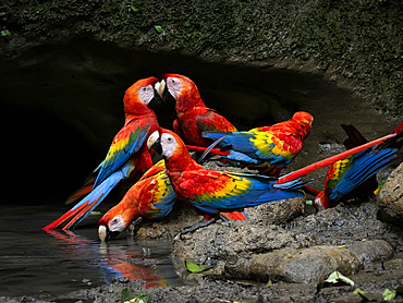 Scarlet Macaw (Ara macao), drinking at mineral-rich waterhole, Yasuni National Park, Ecuador