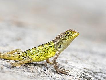 Common Garden Lizard (Calotes versicolor), Karnataka, India