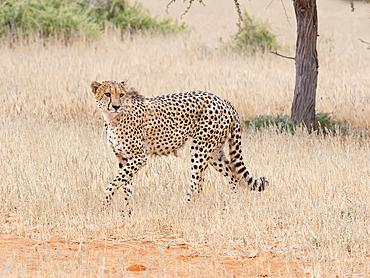 Cheetah (Acinonyx jubatus), adult male, Tswalu Kalahari, South Africa