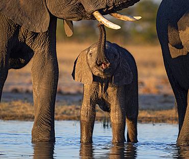 African Elephant (Laxodonta africana), calf touching female?s tusk, Hwange National Park, Zimbabwe, July
