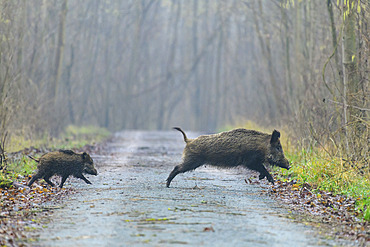 Wild boars run across a path, Sus scrofa, Female with young, Germany, Europe