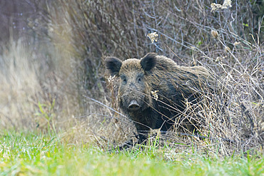 Wild boar, Sus scrofa, Tusker, Germany, Europe
