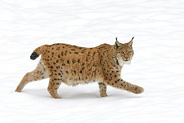 European lynx in winter, Lynx lynx, Bavaria, Germany, Europe