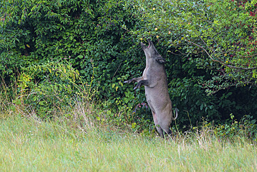 Wild boar under apple tree, Sus scrofa, Female, Germany, Europe