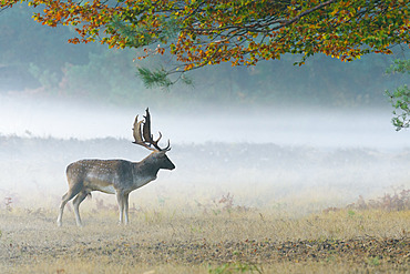 Fallow deer on misty morning in autumn, Cervus dama, Germany, Europe