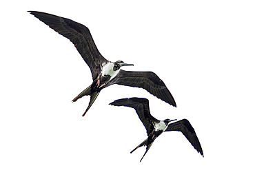 Magnificent frigatebird (Fregata magnificens) in flight, Cayo LImon, Gulf of Honduras, Belize