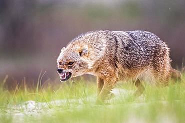 Eurasian golden jackal (Canis aureus moreoticus) threating, Danube delta, Romania
