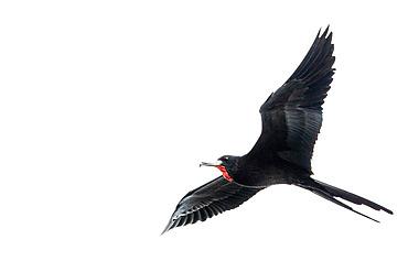 Magnificent frigatebird (Fregata magnificens) in flight, Gulf of Honduras, Livingston, Guatemala