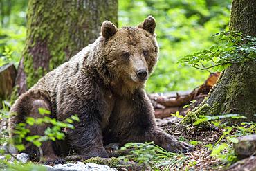Eurasian brown bear (Ursus arctos arctos) sitting, Slovenia