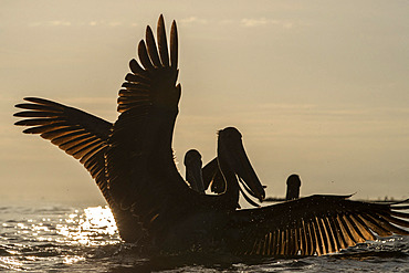 Brown pelican (Pelecanus occidentalis) on the water, mouth of the Rio Dulce, Gulf of Honduras, Livingston, Guatemala