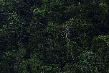 Great egret (Egretta alba) in the bank of the Rio Dulce, Guatemala.
