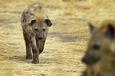 A playful approach by a Spotted Hyena (Crocuta crocuta) in Uganda.