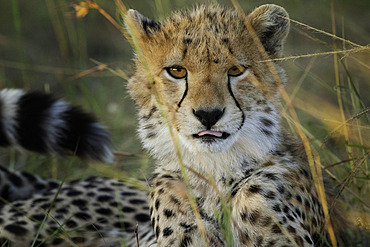 A Cheetah (Acinonyx jubatus) looks on in the Maasai Mara National Park, Kenya.